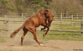 Narowisty koń na placu